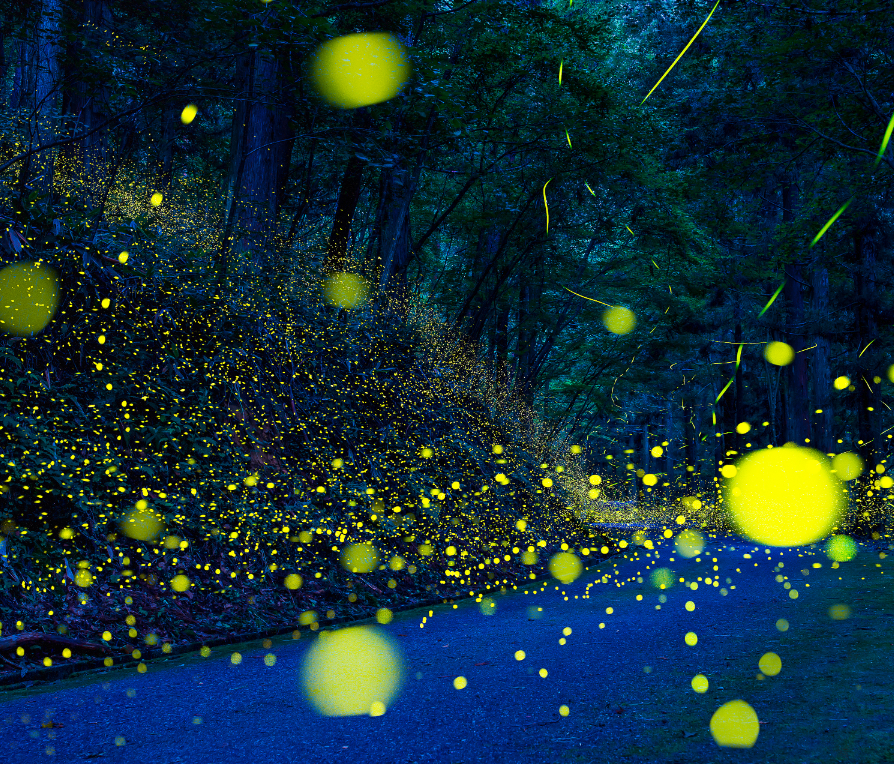 海石榴 蛍の宴(イメージ)