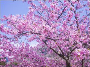 湯河原梅林の桜