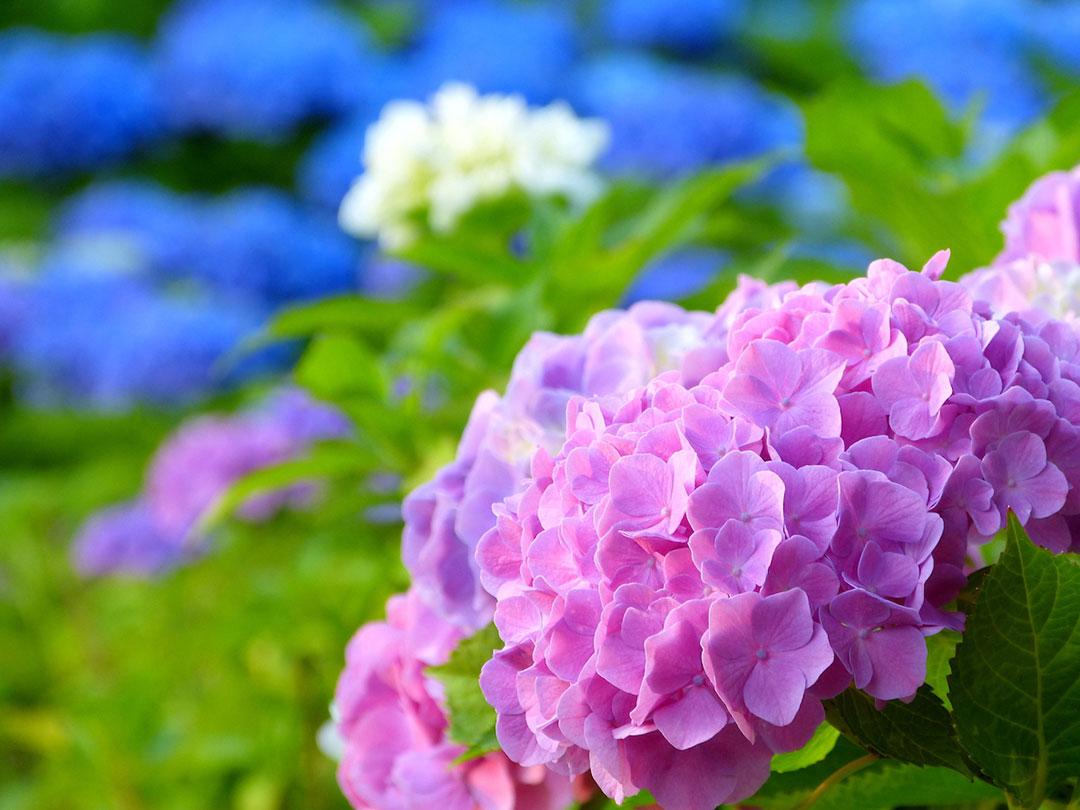 強羅公園 紫陽花