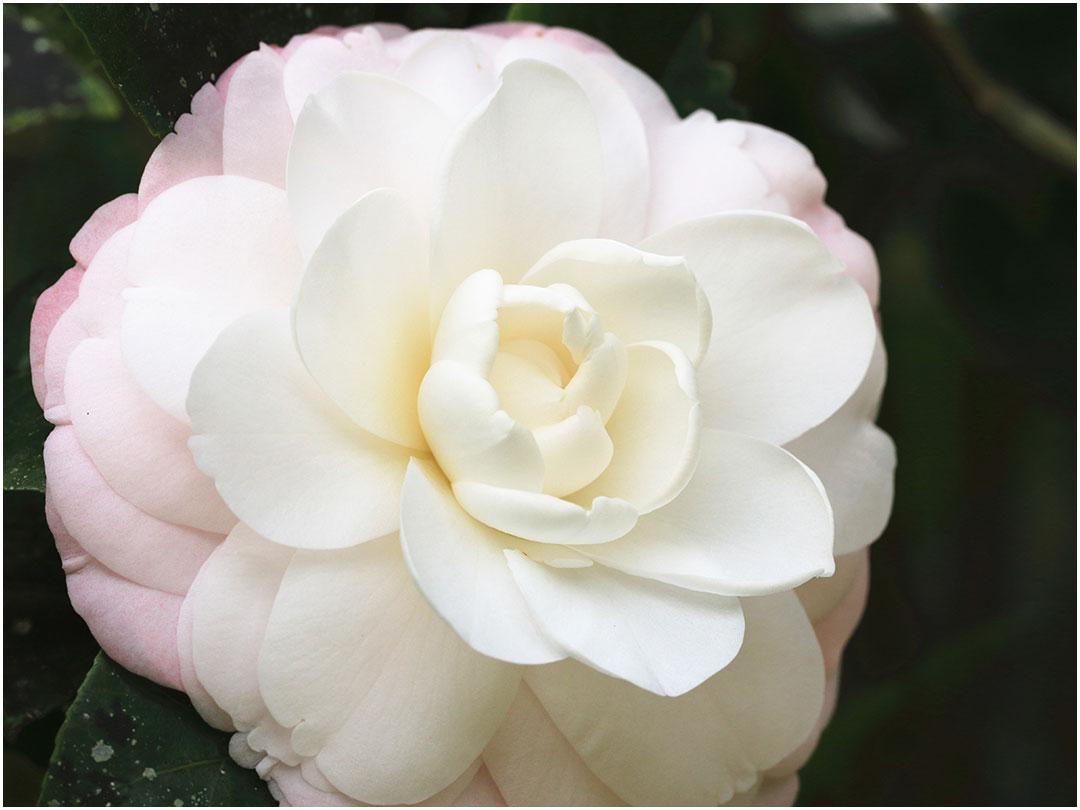 11月の誕生花は「椿」